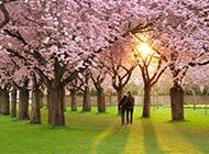 樱花树下漫步的情侣图片