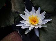 白色莲花意境图片素材分享