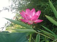 亭亭玉立的粉红色莲花图片