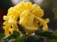黄色菊花高清摄影图片素材