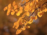 冬天的银杏树叶唯美写真图片