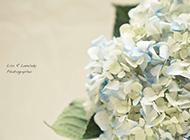 清雅绣球花简约花卉风景高清壁纸