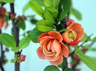 橘色海棠花特写图片