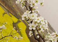 田园风光图片 春天枝头绽放的梨花