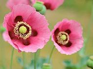 美丽却致命的罂粟花图片