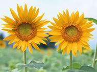 可爱的向日葵图片素材