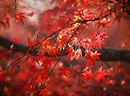 枫叶红色植物图片精美背景