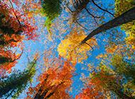 仰拍绚丽枫树美景图片