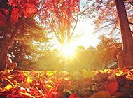 深秋唯美枫树林红色风景图