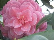 粉色娇嫩的山茶花图片