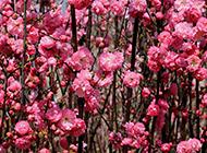 春天盛放的浪漫樱花图片