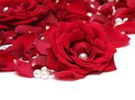 红玫瑰壁纸高清大图