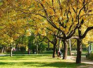 法国梧桐树图片高大茂盛