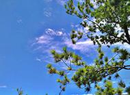 四季常青的松树高清图片