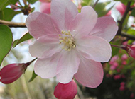 唯美粉红海棠花图片