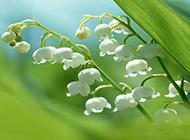 洁白铃兰花清新雨后风景壁纸