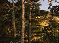 伟岸挺拔的松树图片