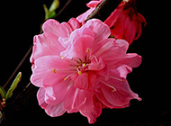 粉嫩娇艳的樱花图片素材欣赏