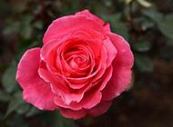 红色月季花图片素材高清特写