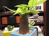 发财树小清新盆栽图片