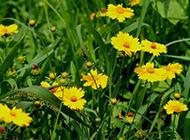 野菊花图片黄色鲜花素材下载
