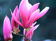 大玉兰花春天粉色花卉合集图片