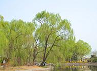 春天柳树图片婀娜多姿