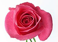 精美的红色玫瑰花背景图片素材