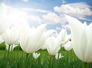 白色郁金香花图片背景素材