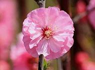 唯美樱花公园鲜花美景图片