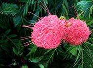 合欢花唯美花开图片赏析
