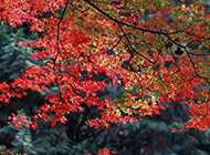 秋季枫树叶唯美图片