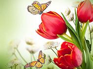 郁金香花红色背景图片