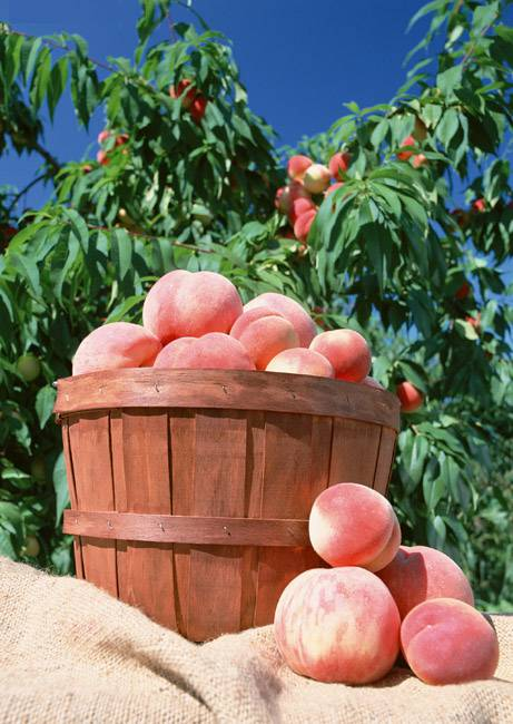 新鲜采摘的桃子图片