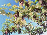 葡萄架下水果图片