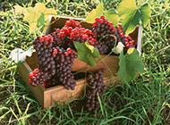 如玛瑙般的葡萄水果图片
