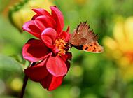 红色花朵背景优雅清新