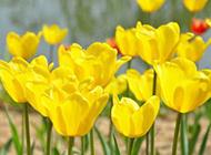 黄色郁金香图片壁纸摄影