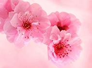 粉色腊梅花背景图片