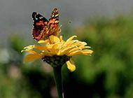 蝴蝶花灿烂盛放唯美风景壁纸