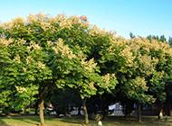 路边的栾树高清图片