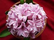 风信子球根花卉精美图片