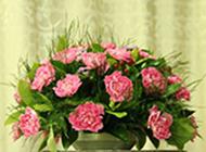 粉色娇艳的康乃馨花束图片