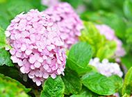 绣球花图片素材高清精选