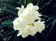 白色夹竹桃图片可爱秀丽