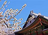 唯美的粉色日本樱花景色背景