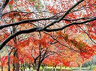 超美的秋天枫树林高清图片