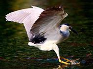 国家级保护鸟类夜鹭捕鱼图片