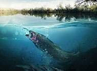 南方淡水大鱼摄影图片