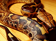 夺命的蟒蛇血蟒高清图片
